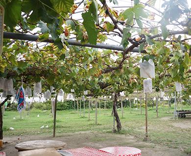 中野果実園のぶどう達