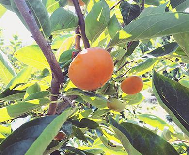 右田果樹園にある苦手な人にも、食べてもらえる柿