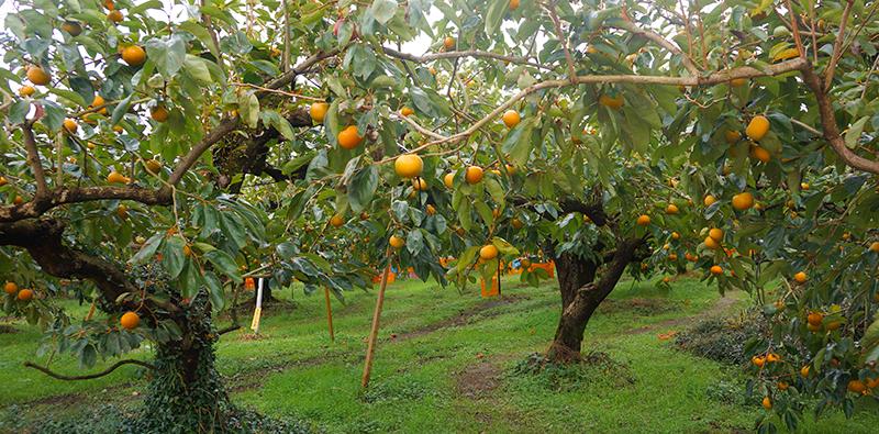 右田果樹園にはずっしりと大きな柿がた~くさん!