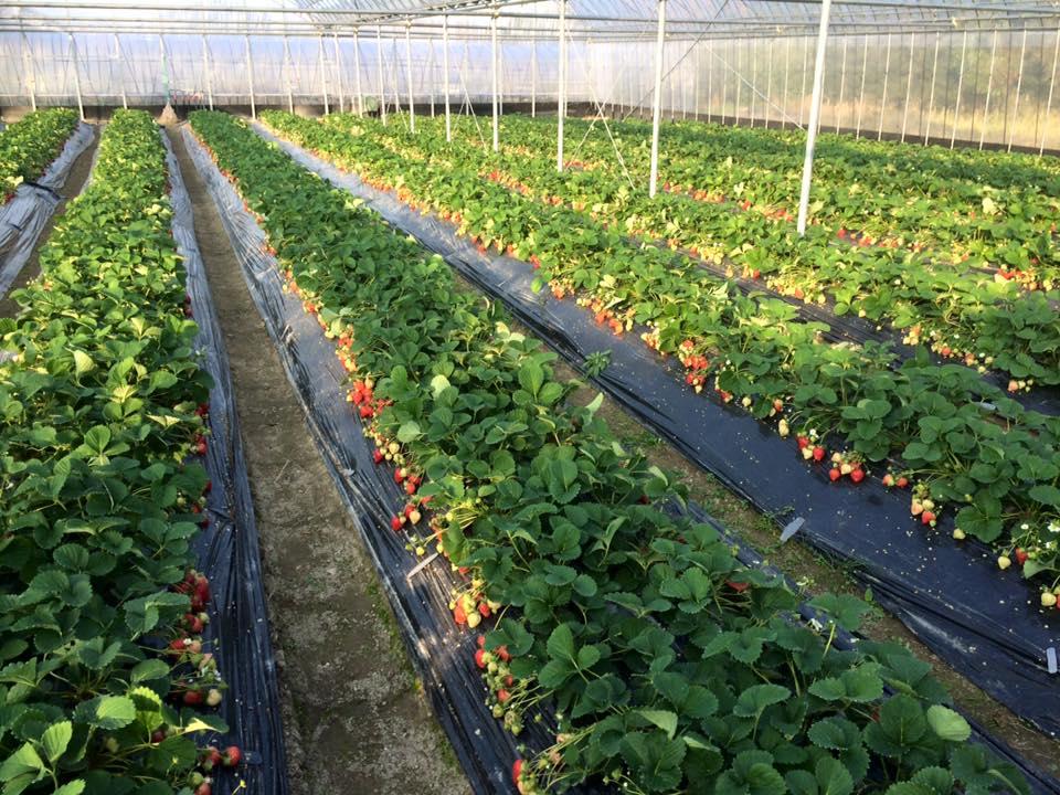 フルーツファーム樹蘭のいちご農園